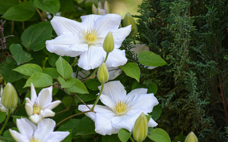 White-Clematis-01