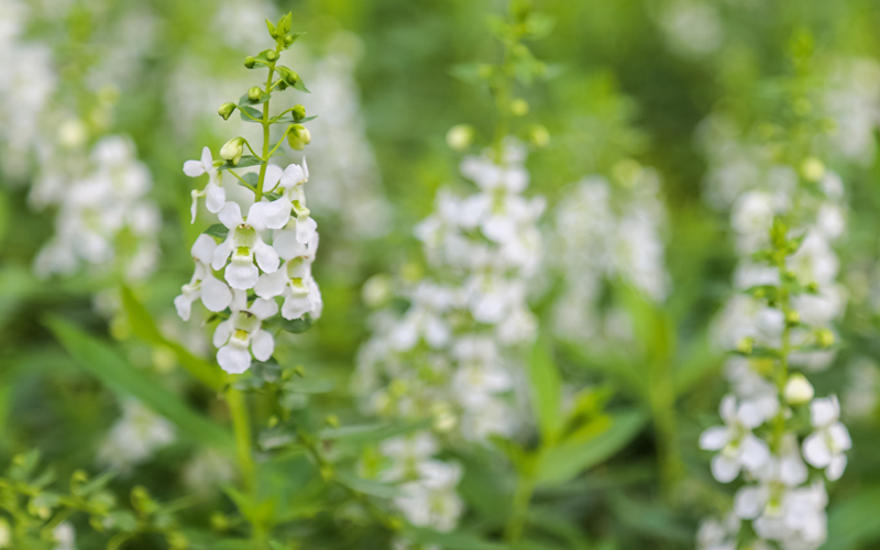 15 white colored plants for a gorgeous white garden garden lovers club this plant is one of the top ten hummingbird attractions bees and butterflies like it as well blooming all summer this 3 year perennial is good in mightylinksfo