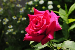 4 Tips for Growing Amazing Roses