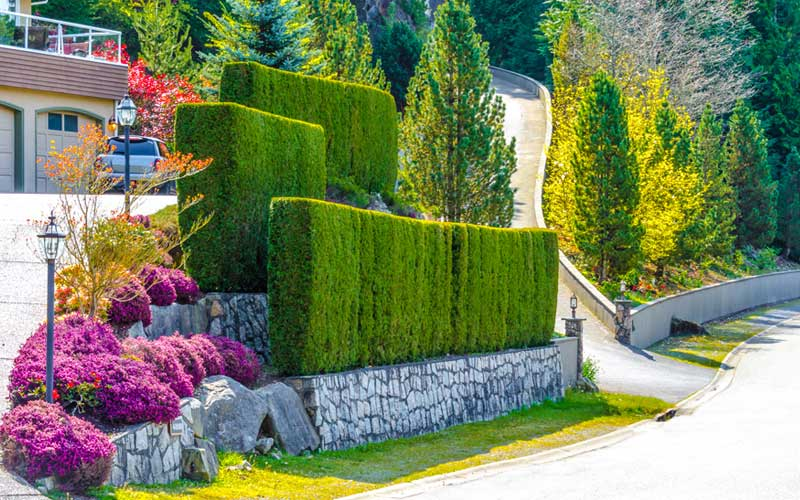 Hedge Wall front yard