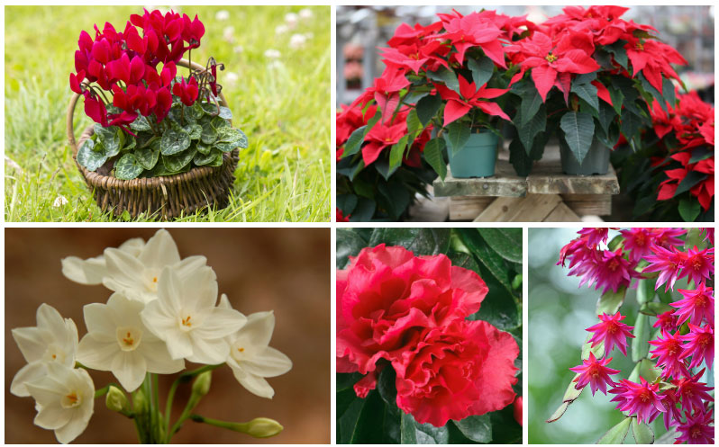 10 Popular Christmas Houseplants Care Tips Garden Lovers Club