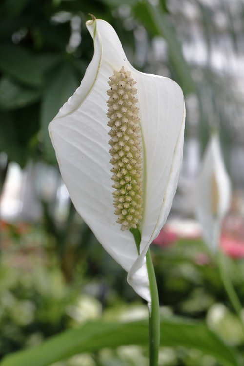 Peace-Lily-02