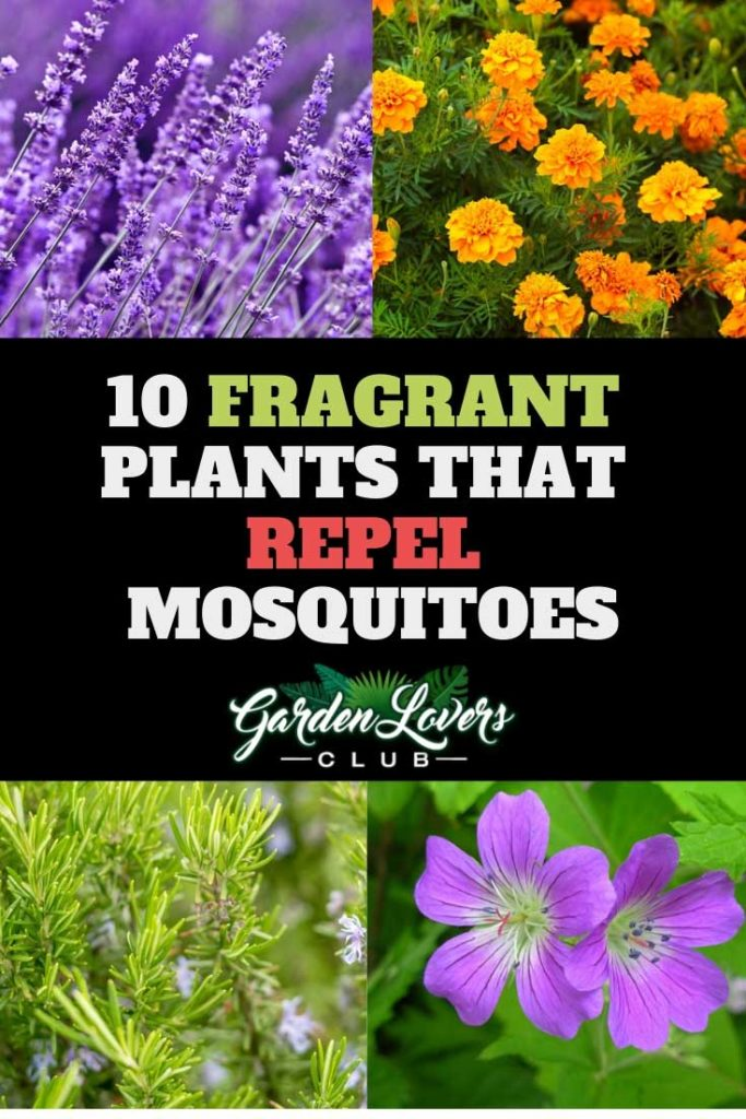 10 Fragrant Plants That Repel Mosquitoes Garden Lovers Club