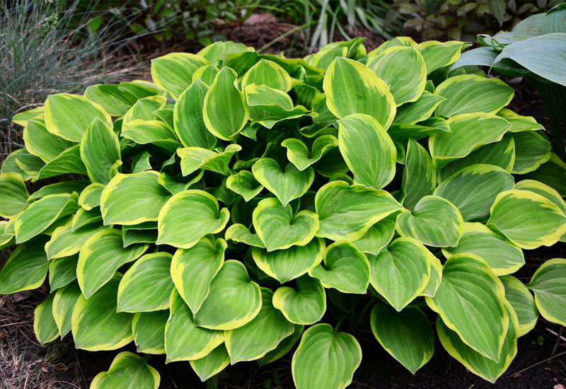 Tips On How To Divide Hostas Garden Lovers Club