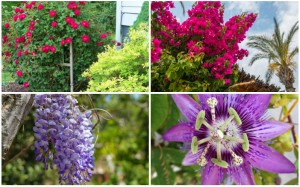 20 Beautiful Climbing Plants for a Stunning Pergola
