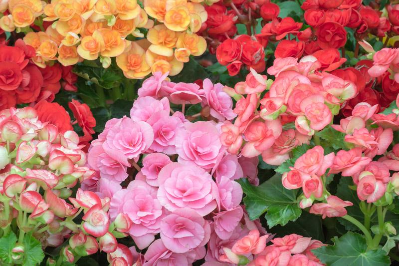 Begonia-flower-01