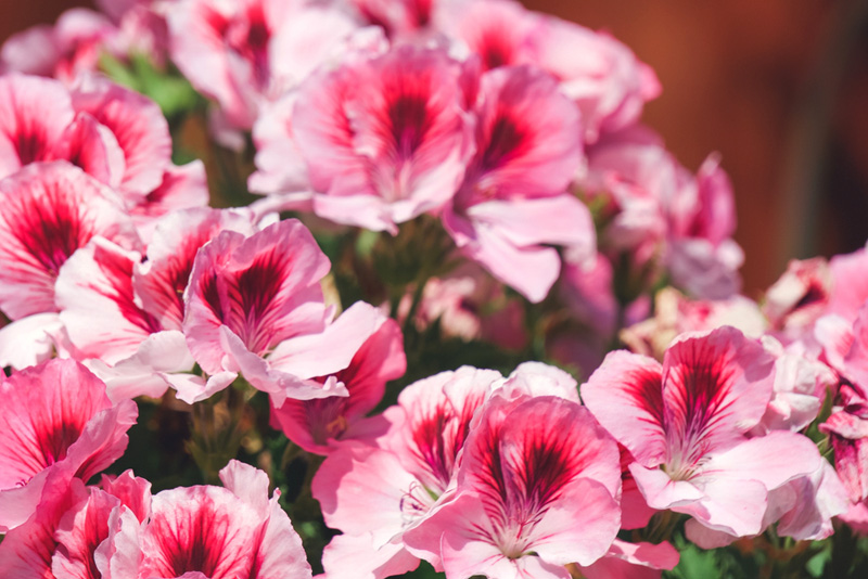 Martha-Washington-Geranium-02