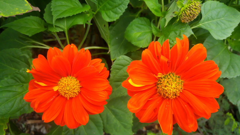 Mexican-Sunflower-02