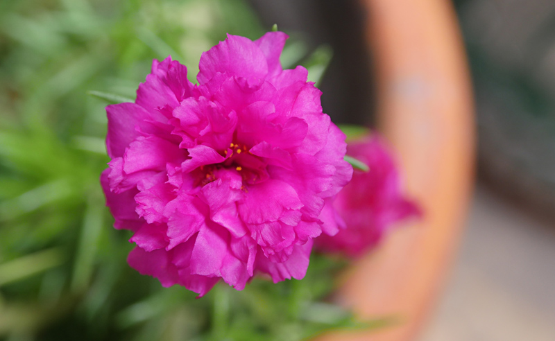 Moss-Rose-02