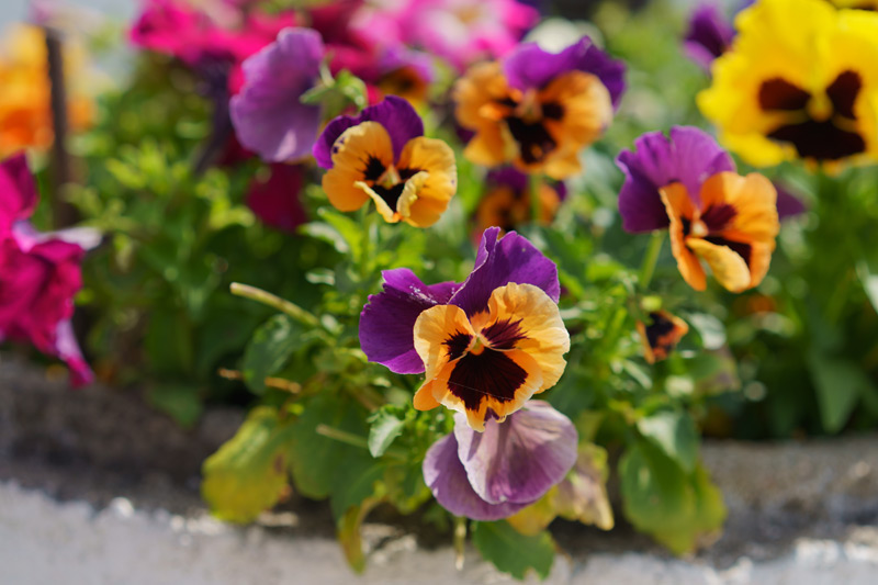 Pansy-01