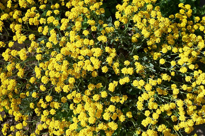Yellow-Alpine-Alyssum
