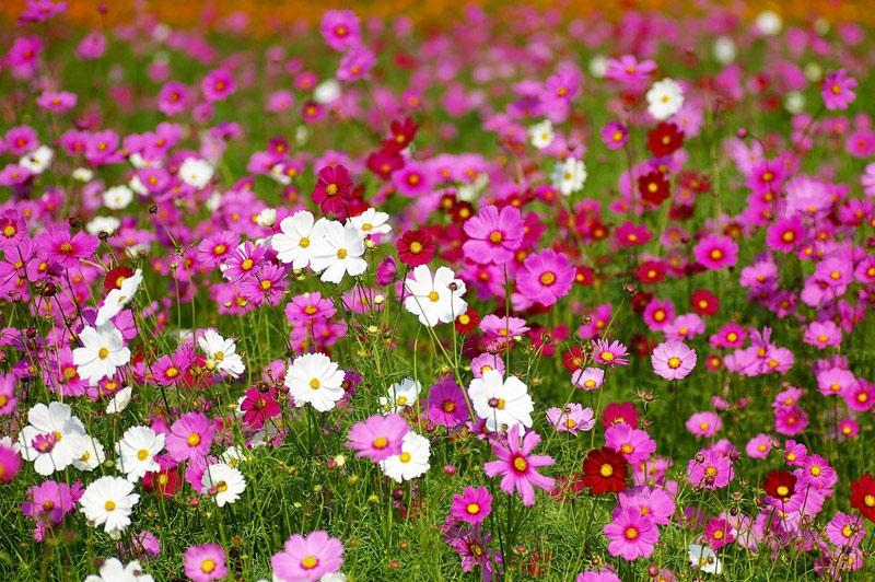 cosmos-flower-01
