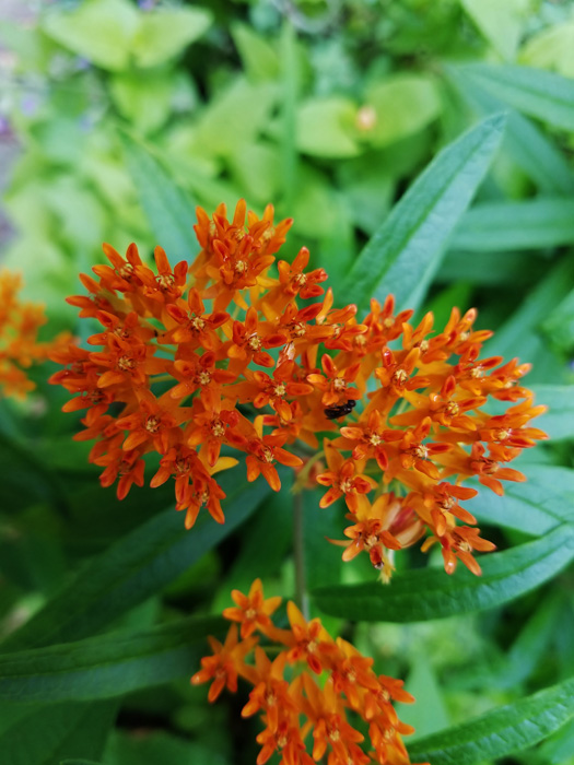 Butterfly-Weed-01