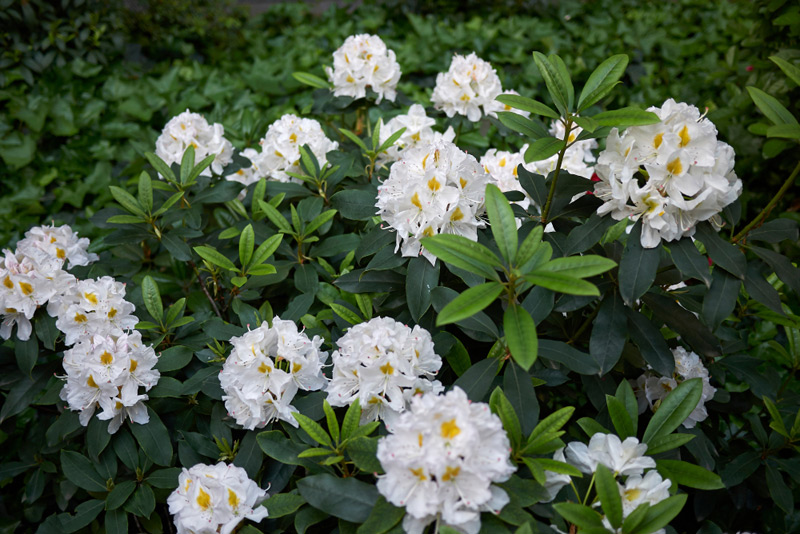 Rhododendron-02