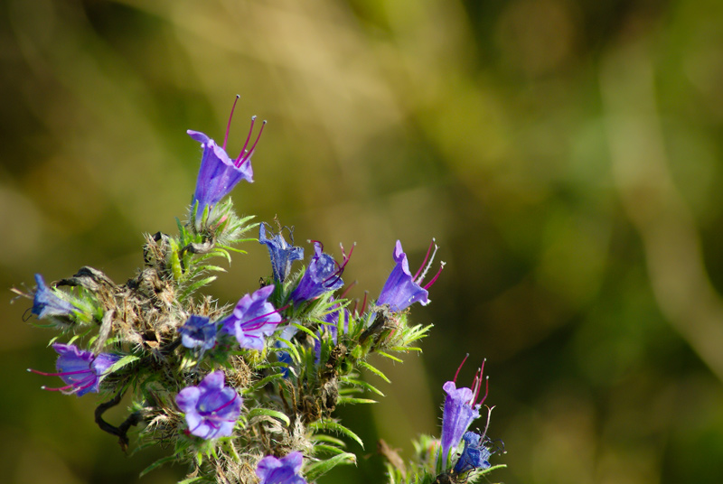 Vipers-Bugloss-02