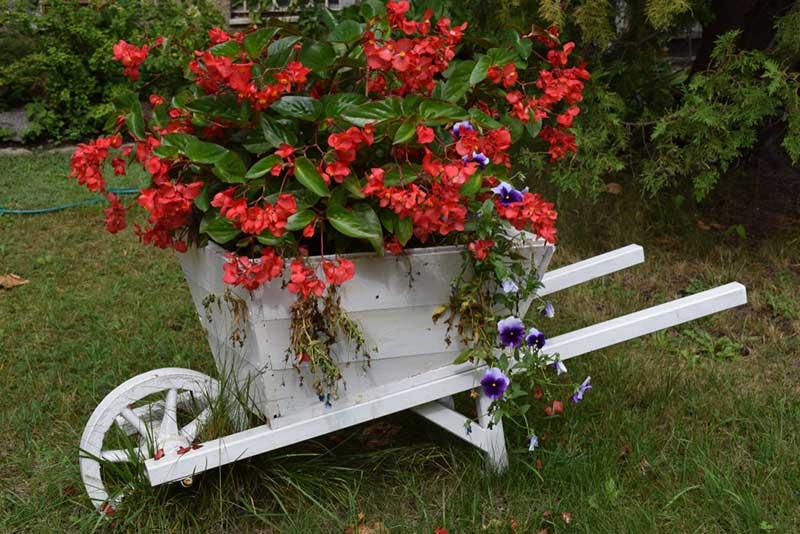 begonias in Wheelbarrow