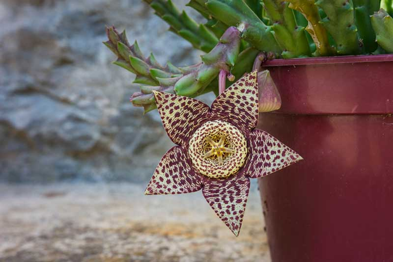Carrion Flower Stapelia