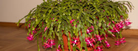 Tips for Growing Thanksgiving, Christmas and Easter Cactus