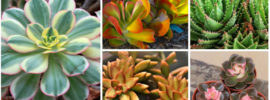 26 Stunning Colorful Succulents (Photos)