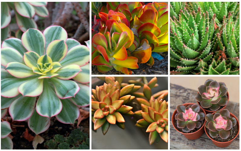 26 Stunning Colorful Succulents Photos Garden Lovers Club