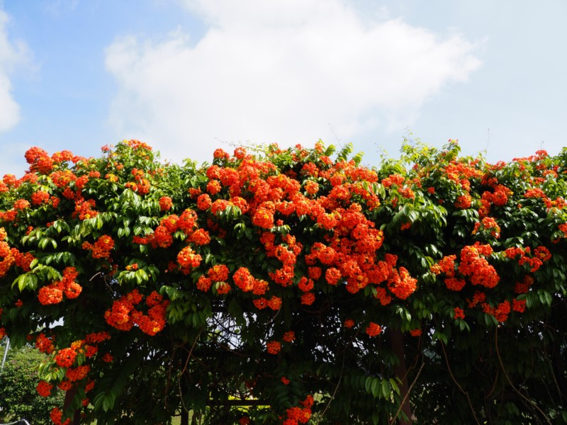 Orange-geiger-Tree-(Cordia sebestena)