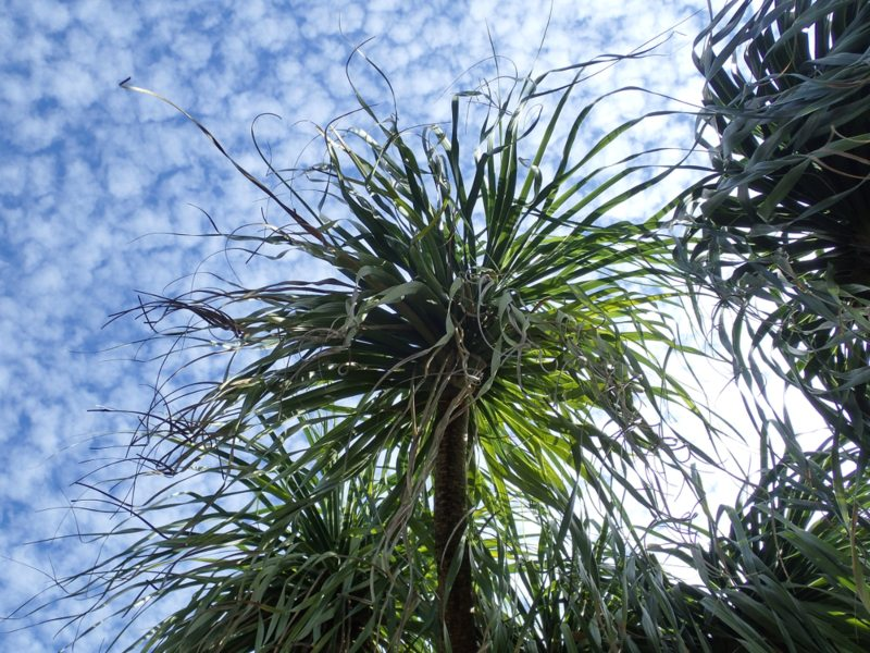 Ponytail-Palm-(Beaucarnia-recurvata)