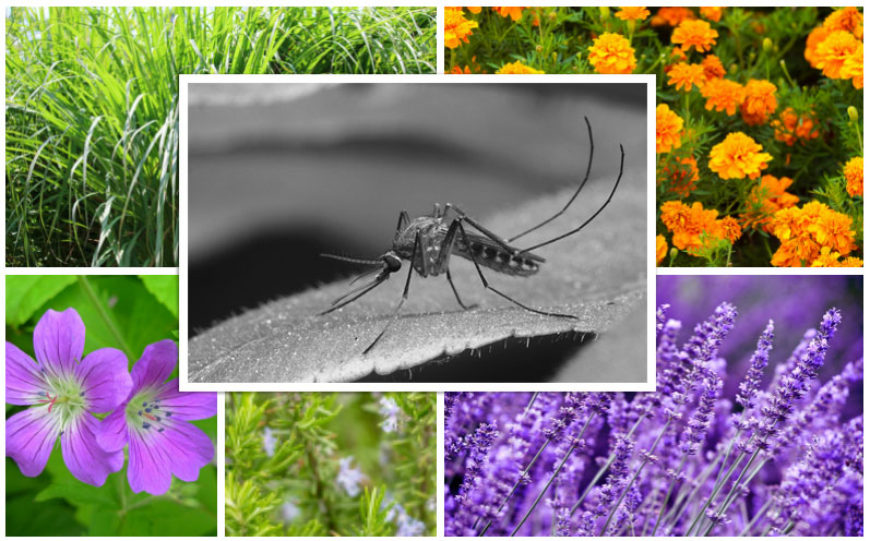 Repel Mosquitoes Collage