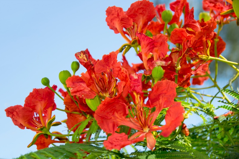 Royal-Poinciana