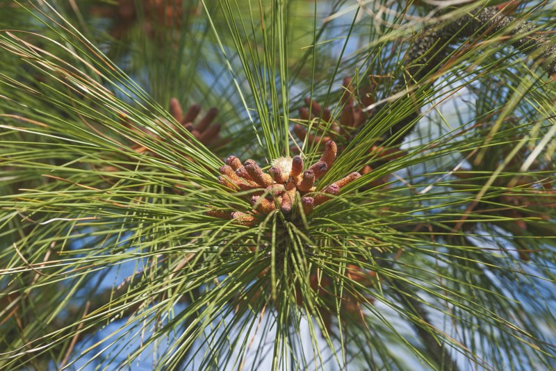 Yellow-Pine-(Pinus palustris)