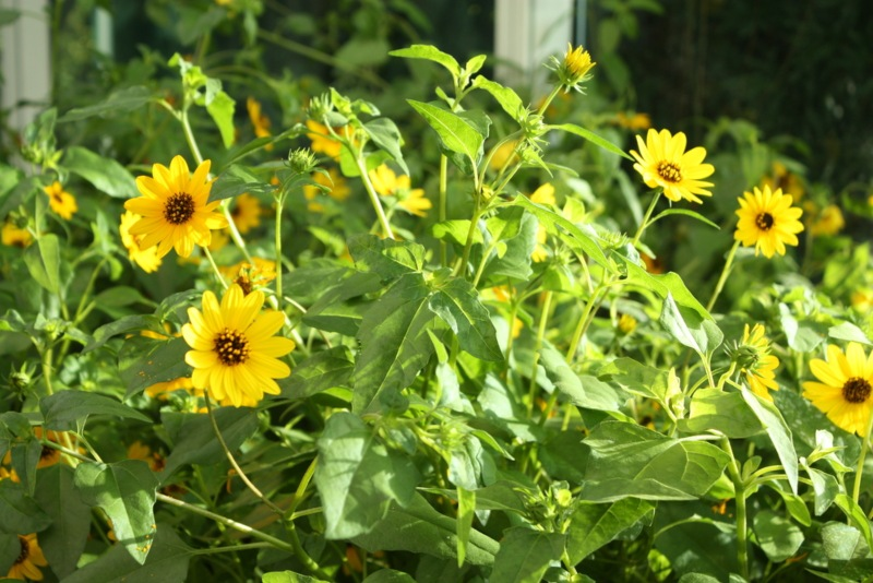 Beach-Sunflower-(Helianthus-debilis)