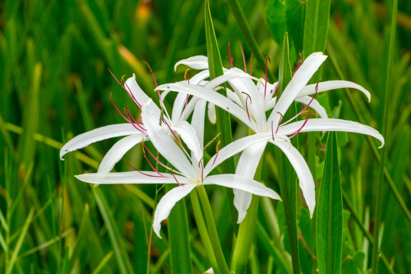 Swamp-Lily