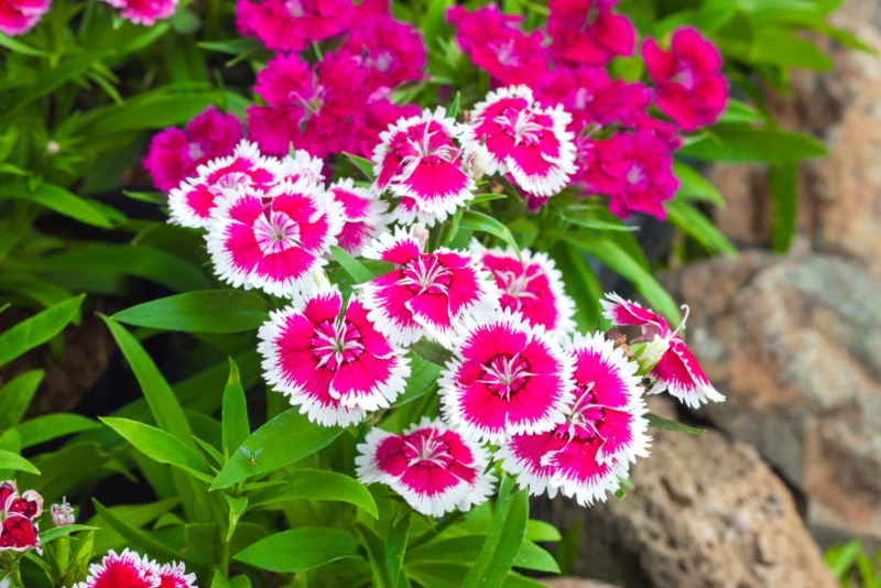 Pinks_(Dianthus-spp.)