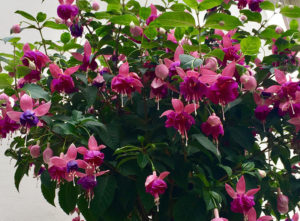 12 Best Plants for Hanging Baskets in Shade