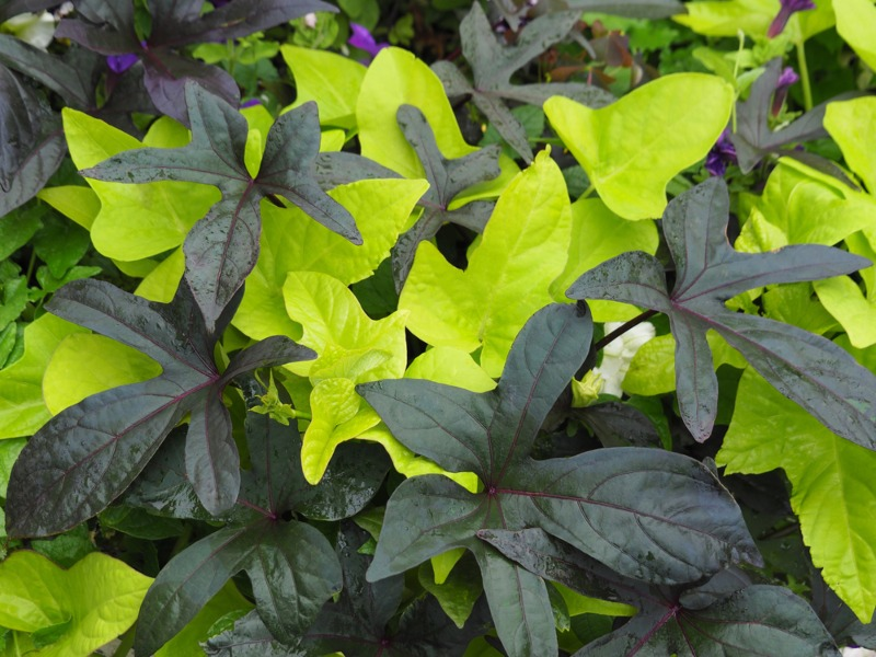 Ornamental-Sweet-Potato-Vine