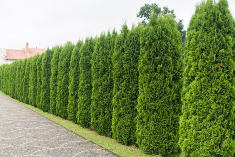 Arborvitae-Evergreen-Trees