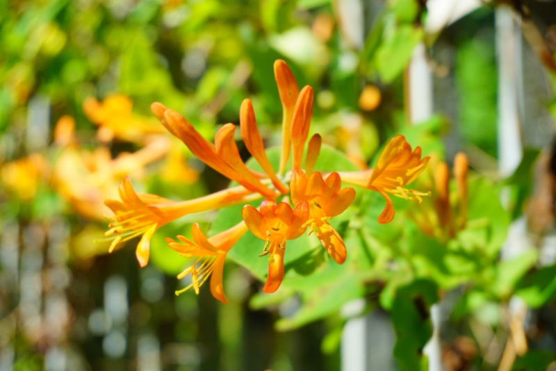 Orange-Honeysuckle