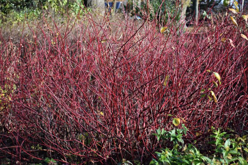 Red-Stem-Dogwood