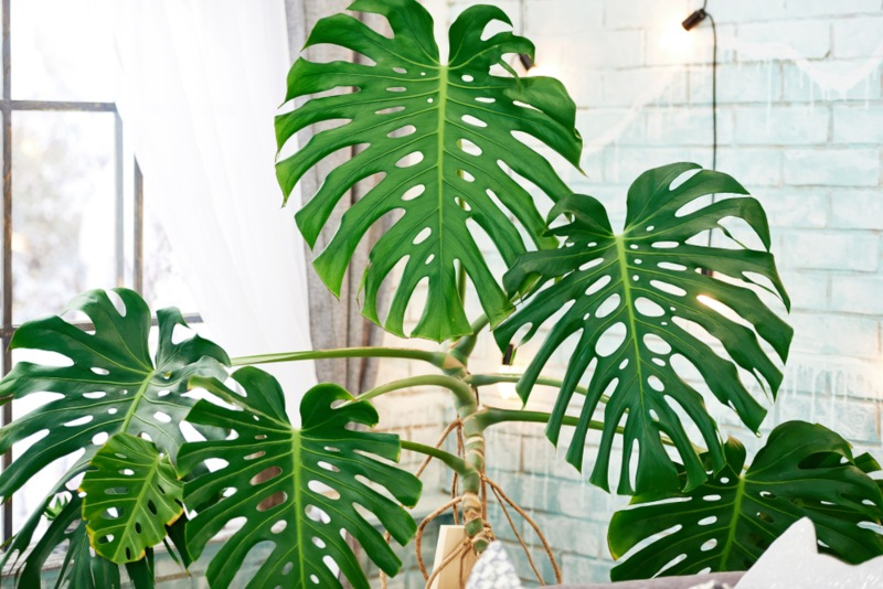 Cutleaf-Philodendron