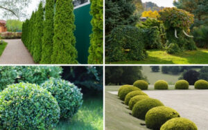 Plants for Topiary